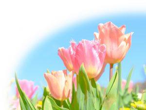 春のチューリップのイメージ
