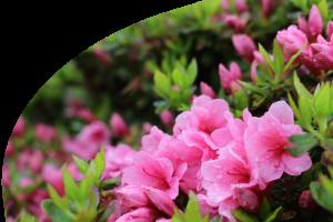 さつきの花イメージ