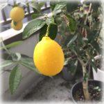 レモンの鉢植え画像