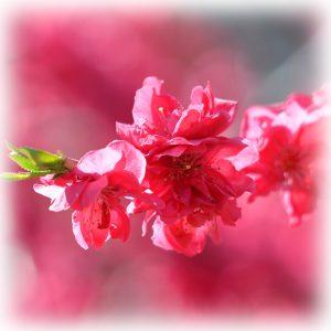 桃の花のイメージ